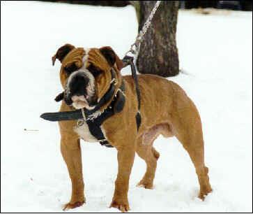 olde english bulldogge bruiser